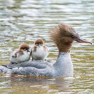 cute-bird-parents-371__300