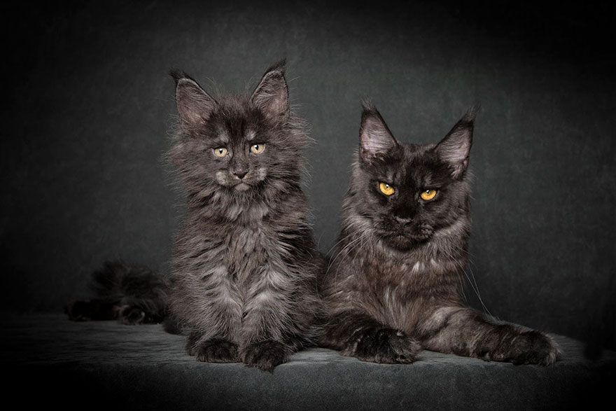 maine-coon-cat-photography-robert-sijka-15-57ad8ed5b222c__880