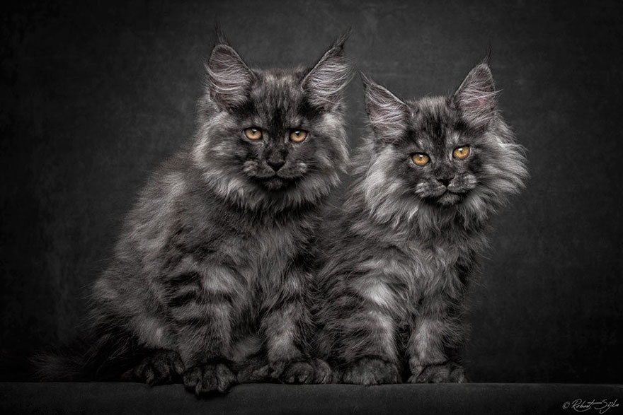 maine-coon-cat-photography-robert-sijka-22-57ad8ee1a5340__880
