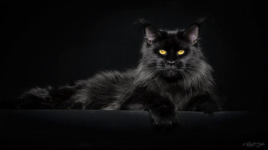maine-coon-cat-photography-robert-sijka-24-57ad8ee63c8c4__880